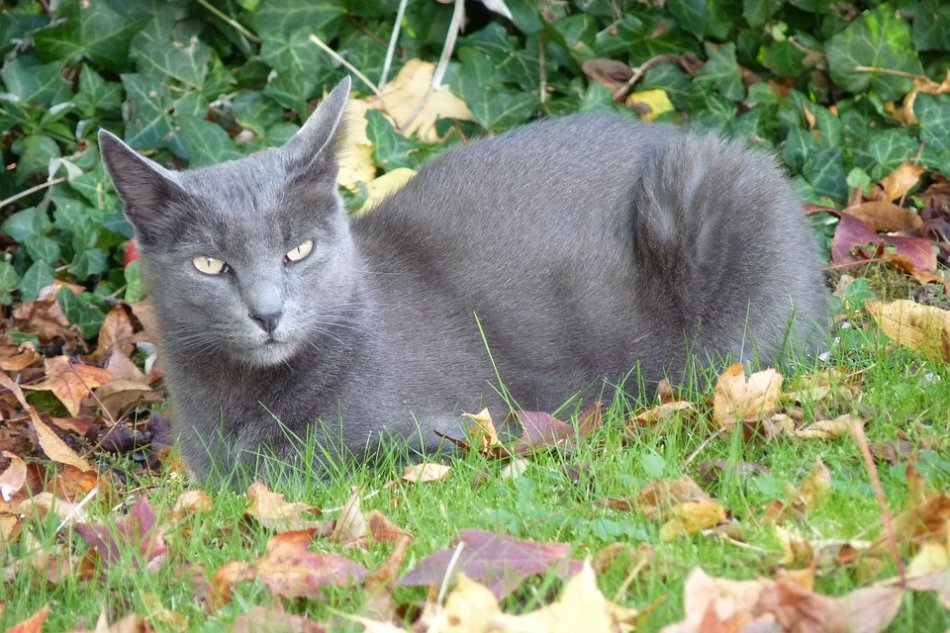 кошка породы корат лежит на траве фото
