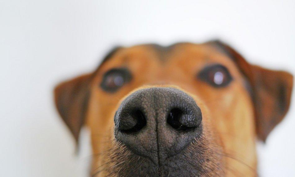 Собачий нос фото