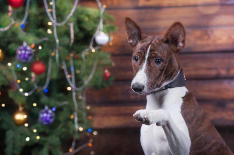 Басенджи с поднятой лапой возле новогодней елки фото