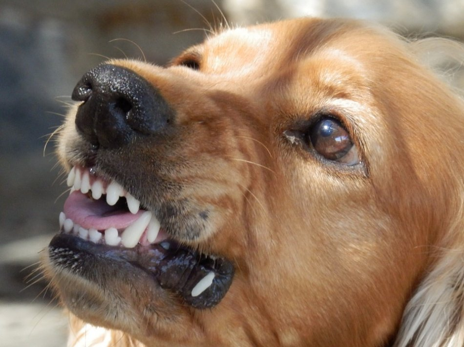 Агрессивная собака фото