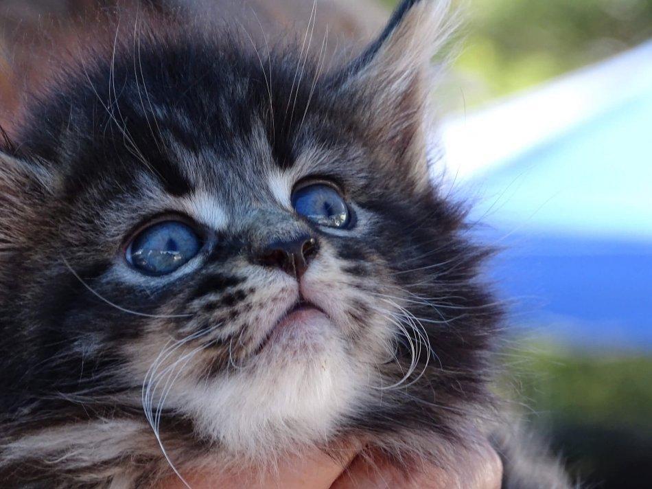 Котенок мейн-куна 5 недель фото