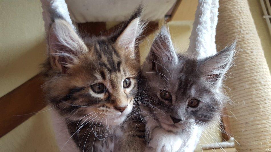 Котята мейн-куна фото