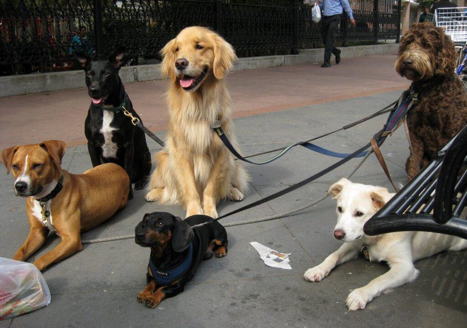 Собаки выгуливаются в городе фото