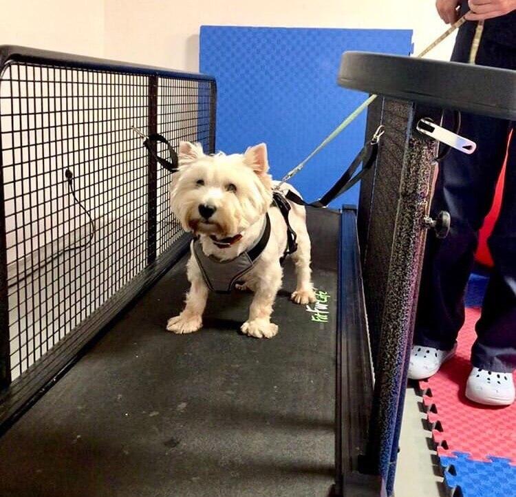 реабилитация, собака, вест-хайленд-уайт-терьер