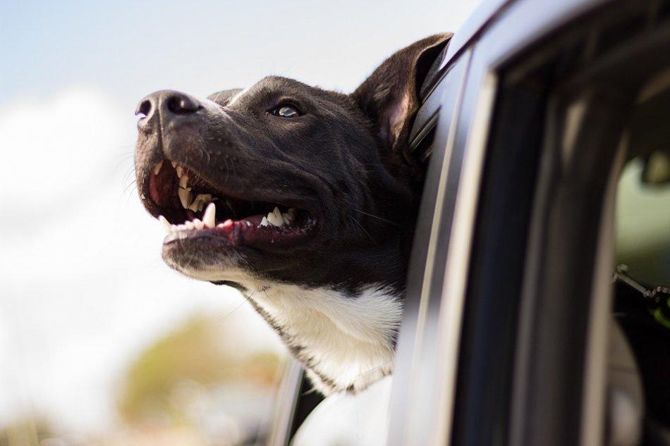 Собака в машине высунулась из окна фото
