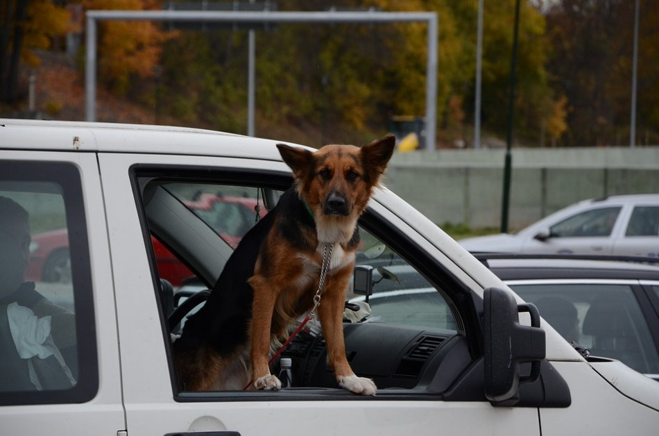 Собака смотрит из окна автомобиля фото