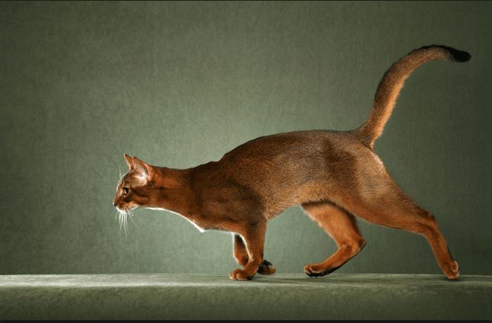 кот, домашний любимец, хвост, бег кошки