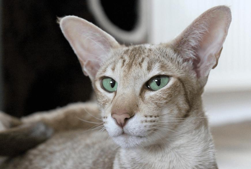 уши кошки, большие уши, слух кошачьих