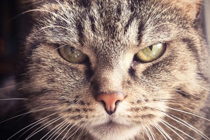 глаза кошки, домашний любимец, кот, морда кота