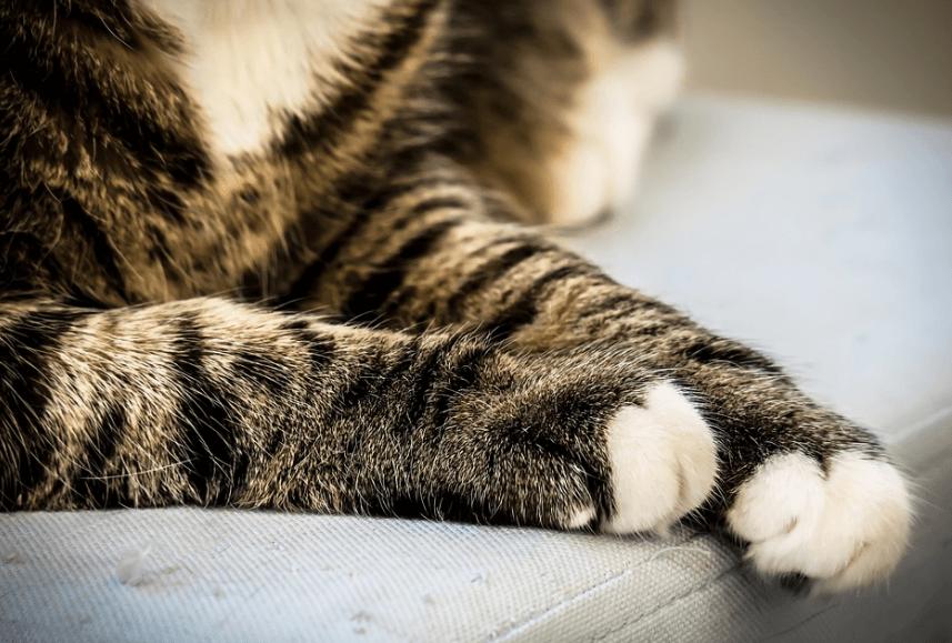 кот, лапы кота, подушечки кошачьих лап, лапки