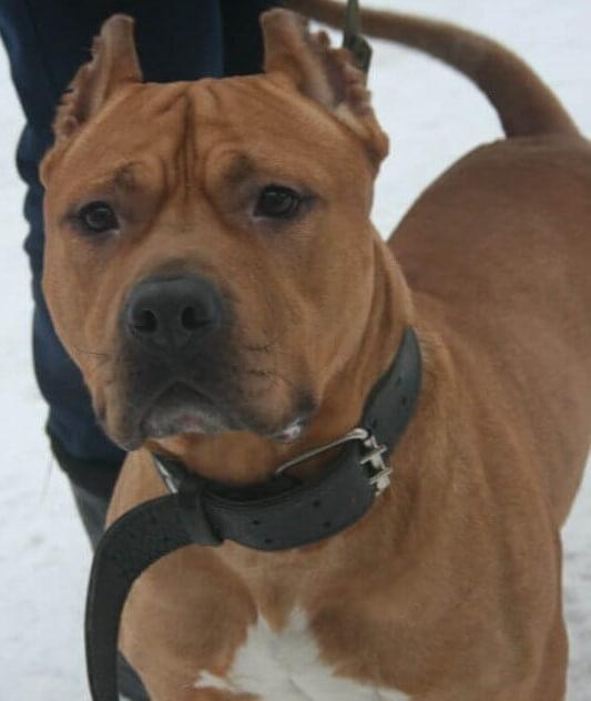 стаффордширский терьер, пес, собака, бойцовская порода