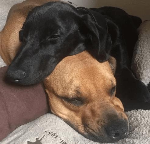 собаки, черные собаки, домашние питомцы