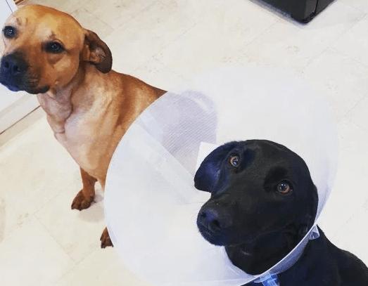 собаки, домашние питомцы, собака с колпаком, большие собаки