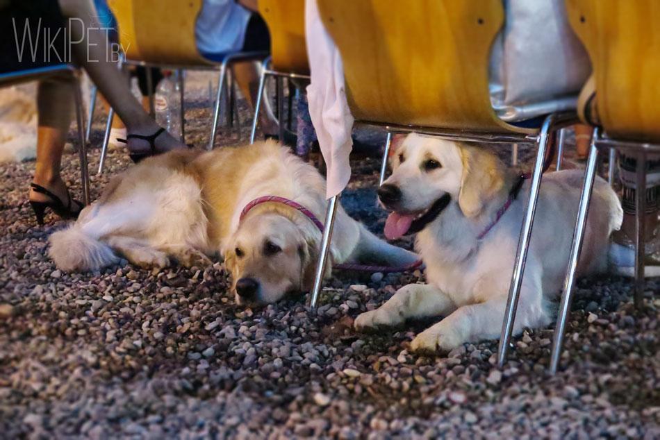 На фото: золотистые ретриверы лежат под стульями фото