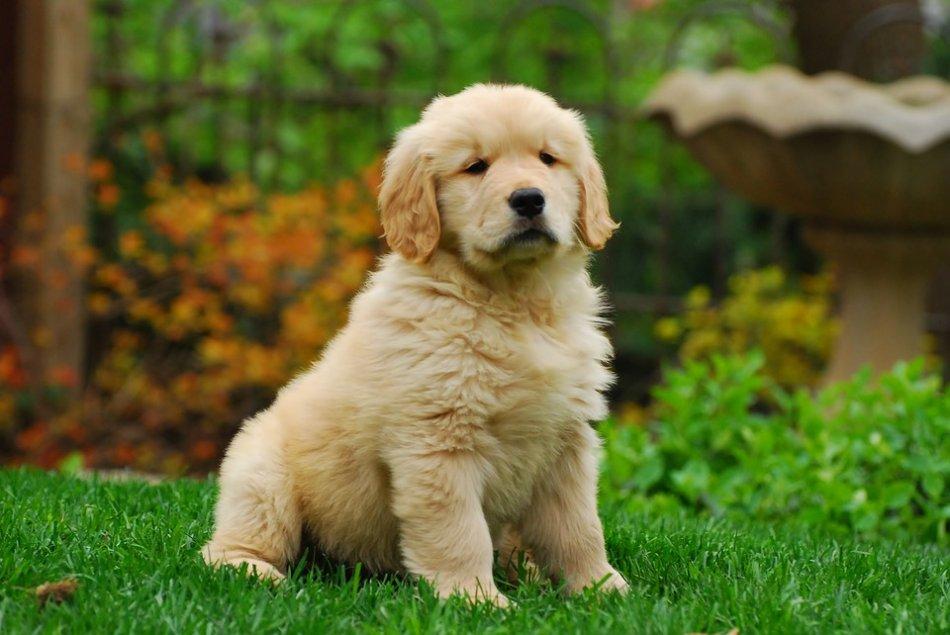 Щенок золотистого ретривера сидит на траве фото