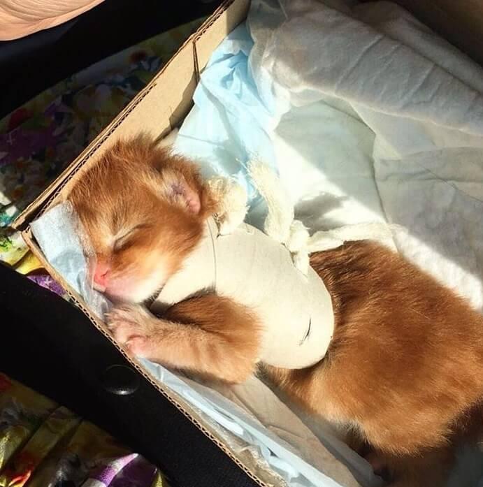 котенок, мейнкун, домашний любимец, маленький котенок
