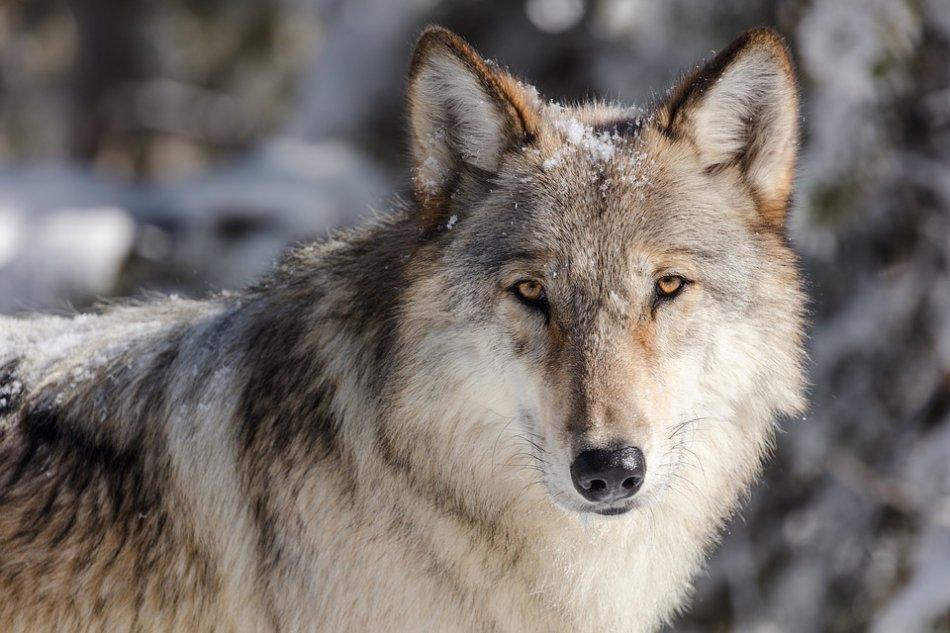 Волк смотрит в камеру фото
