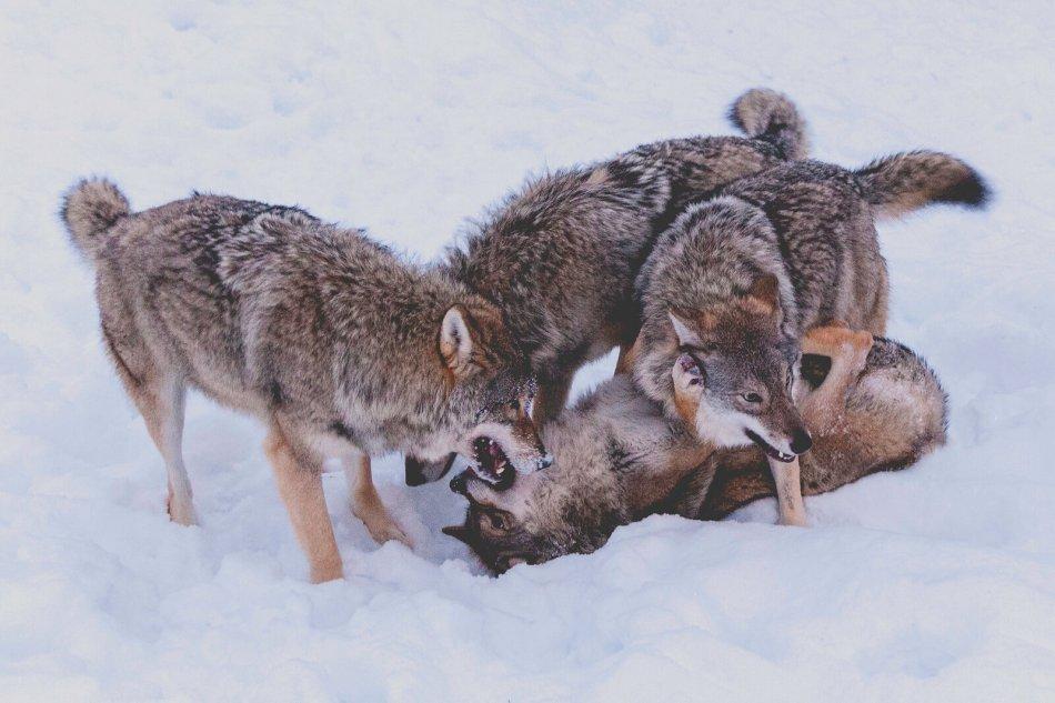 Волки играют на снегу фото