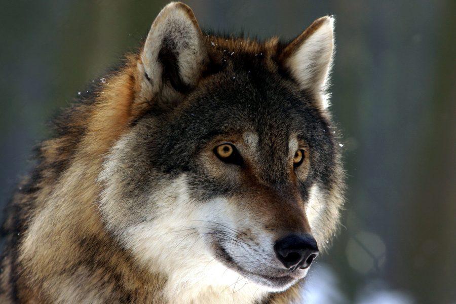Волк в лесу фото