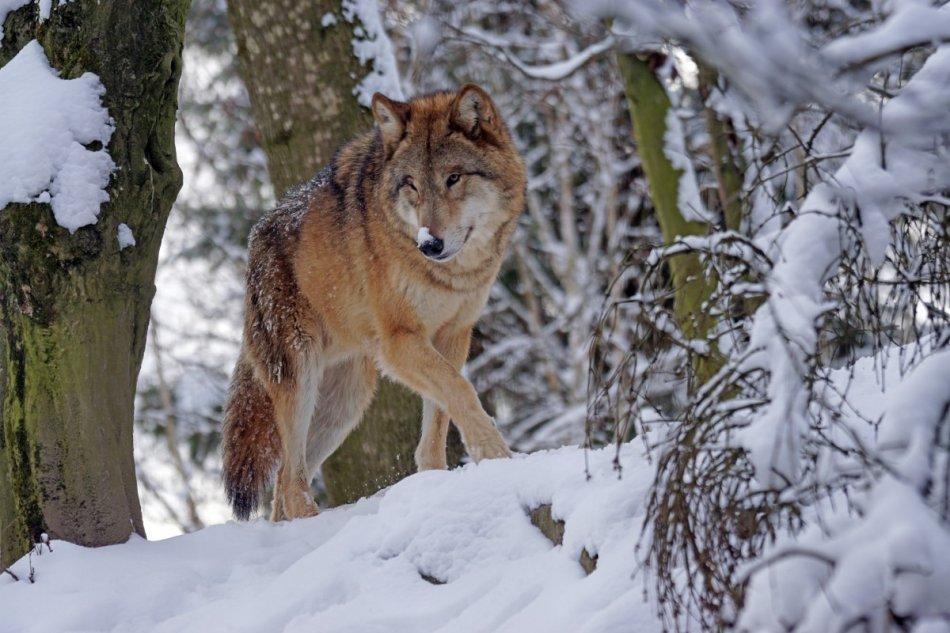 Волк идет в лесу по снегу фото