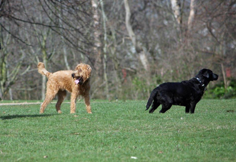Две собаки в парке фото