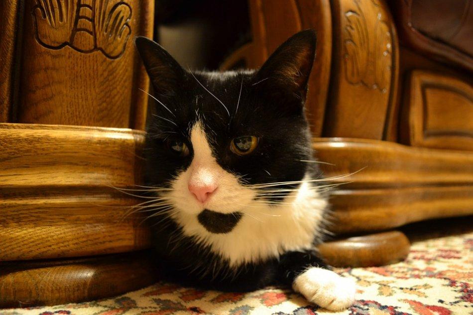 Черно-белая кошка прячется фото