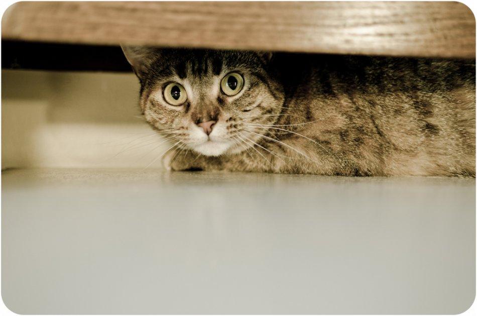 Испуганная полосатая кошка прячется фото