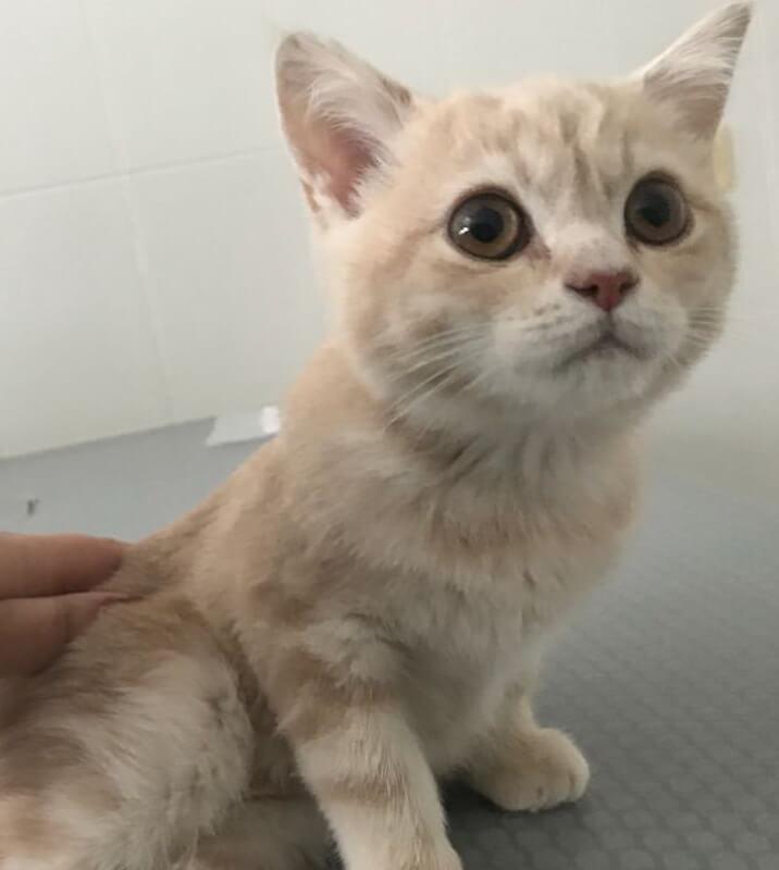 котенок, кот, домашний любимец, шотландская вислоухая