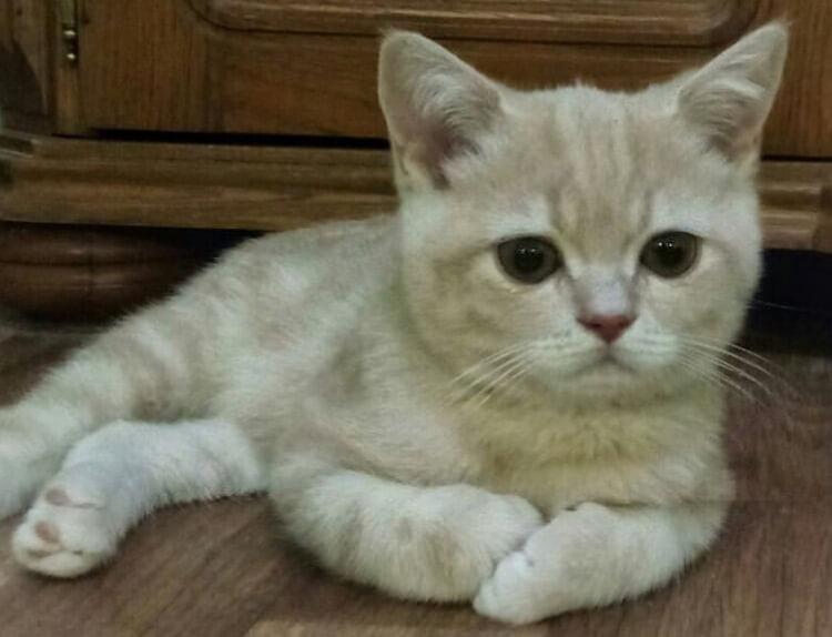 котенок, рыжий котенок, котенок шотландский вислоухий