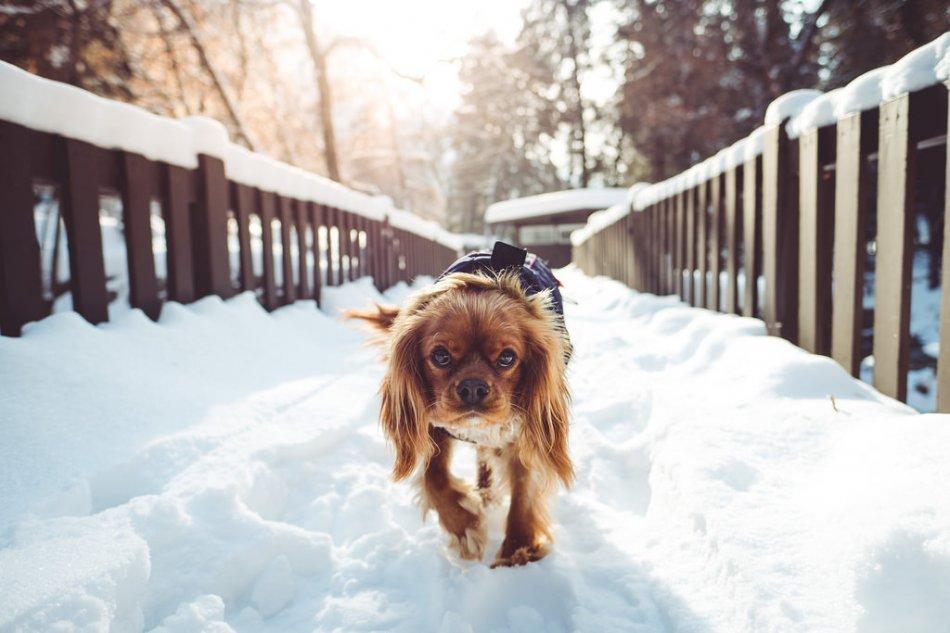 Спаниель гуляет по снегу фото