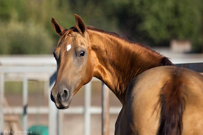 Донская лошадь смотрит в камеру фото