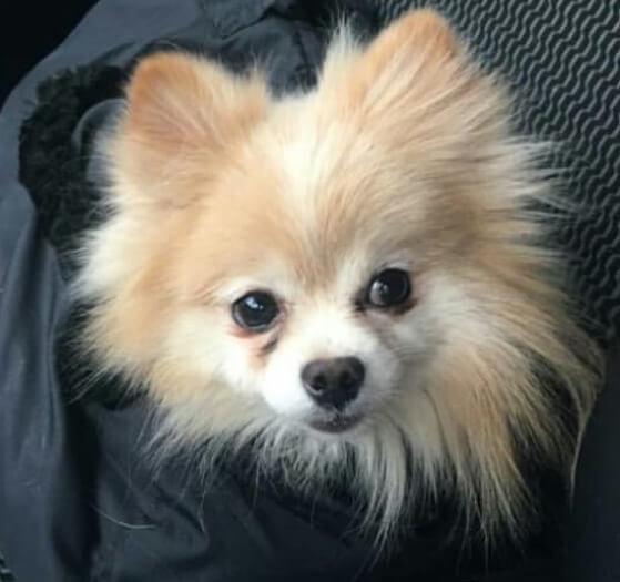 померанский шпиц, домашний питомец, маленькая собака