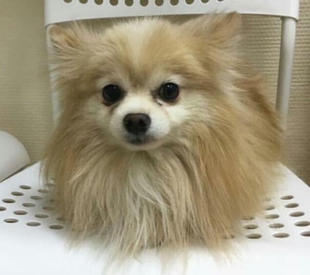 собака, померанский шпиц, маленькая собака