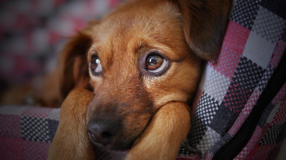 Рыжая собака грустит на пледе фото