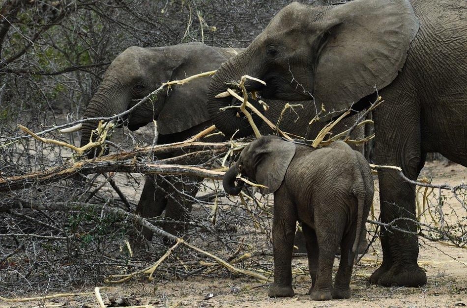 Слоны и слоненок хватают ветки хоботом фото