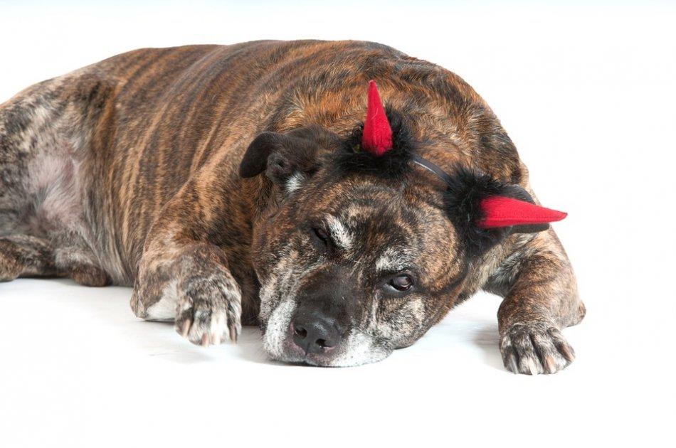 Собака с рожками чертика фото