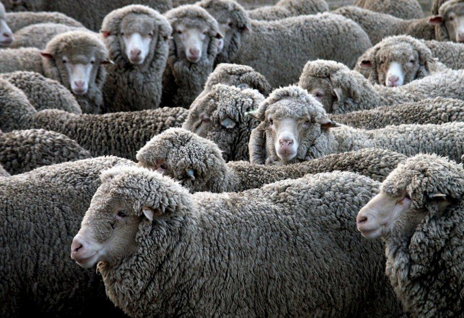 Овцы породы меринос фото