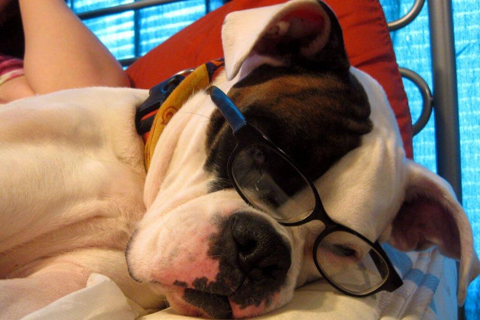 Черно-белая собака в очках лежит на кровати фото