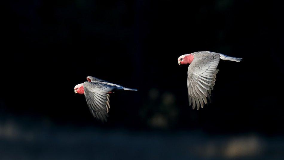 Какаду летят фото