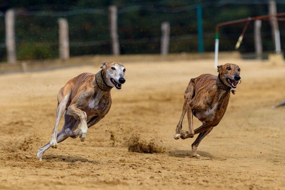 Пара грейхаундов бежит по песку фото