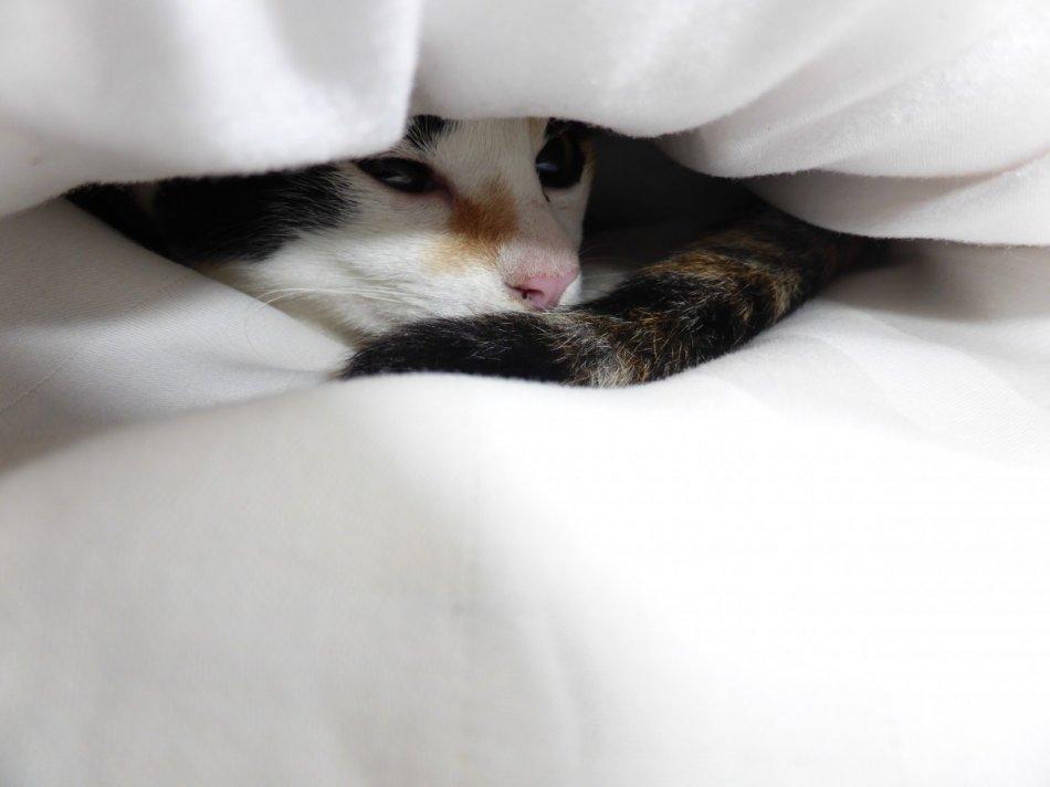 Черепаховая кошка прячется под одеялом фото