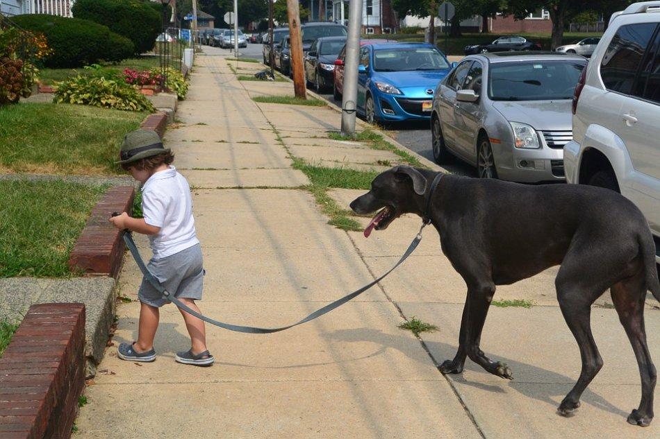Маленький мальчик ведет на поводке большую собаку фото