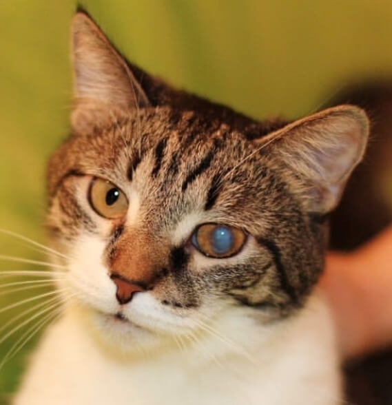 кот, домашний любимец, кот с пятном на глазу