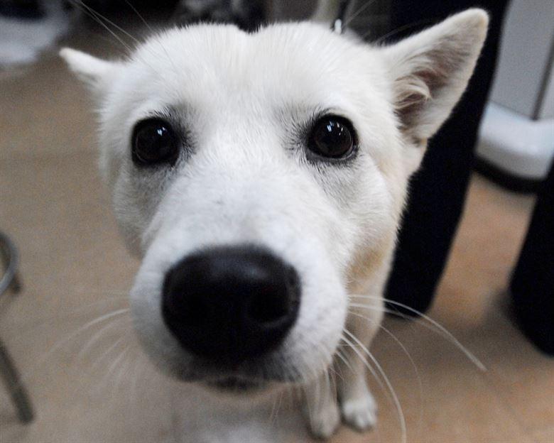 Белая собака тянется носом к человеку фото