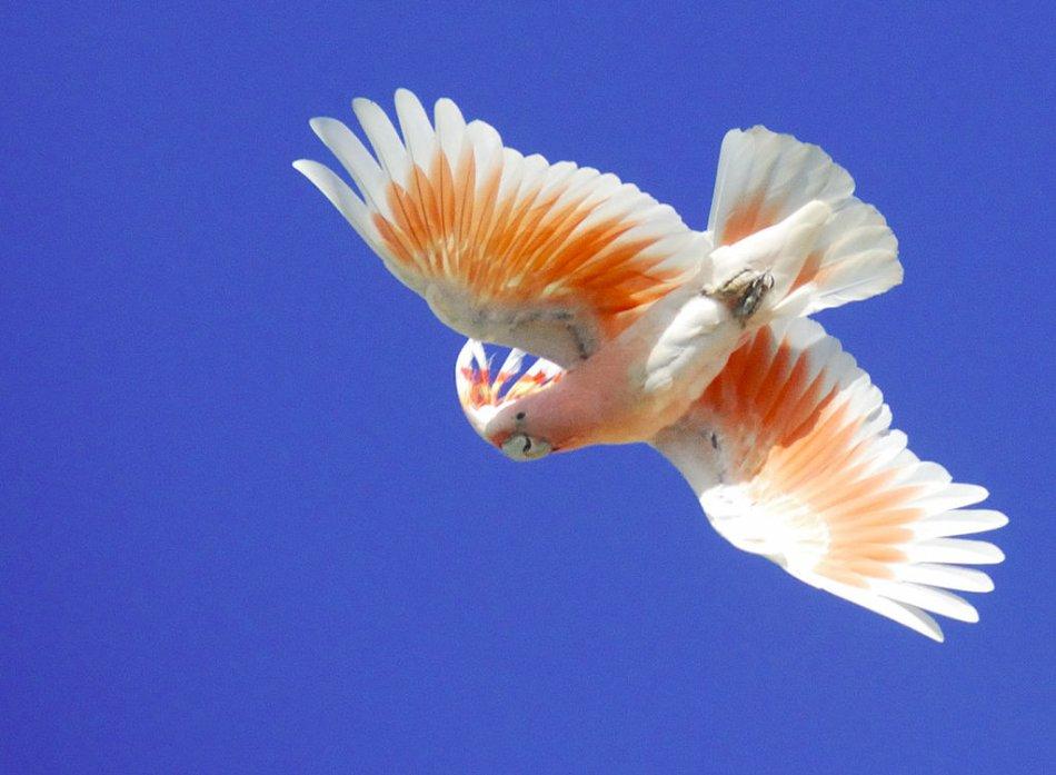 Какаду инка летит фото