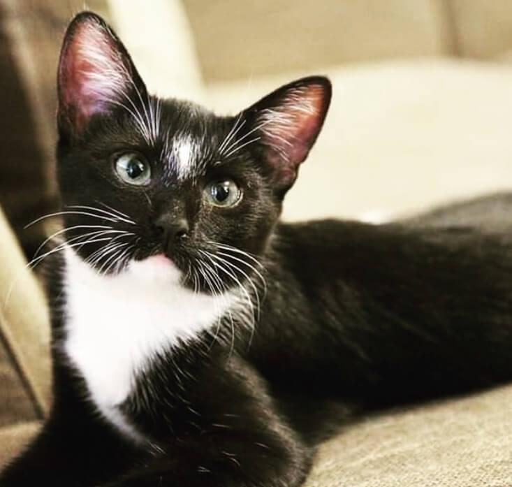 кошка, домашний питомец, кот, черно-белый кот