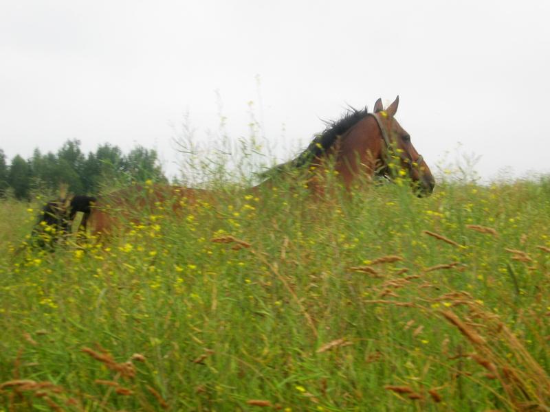 Гнедая лошадь бежит в высокой траве фото