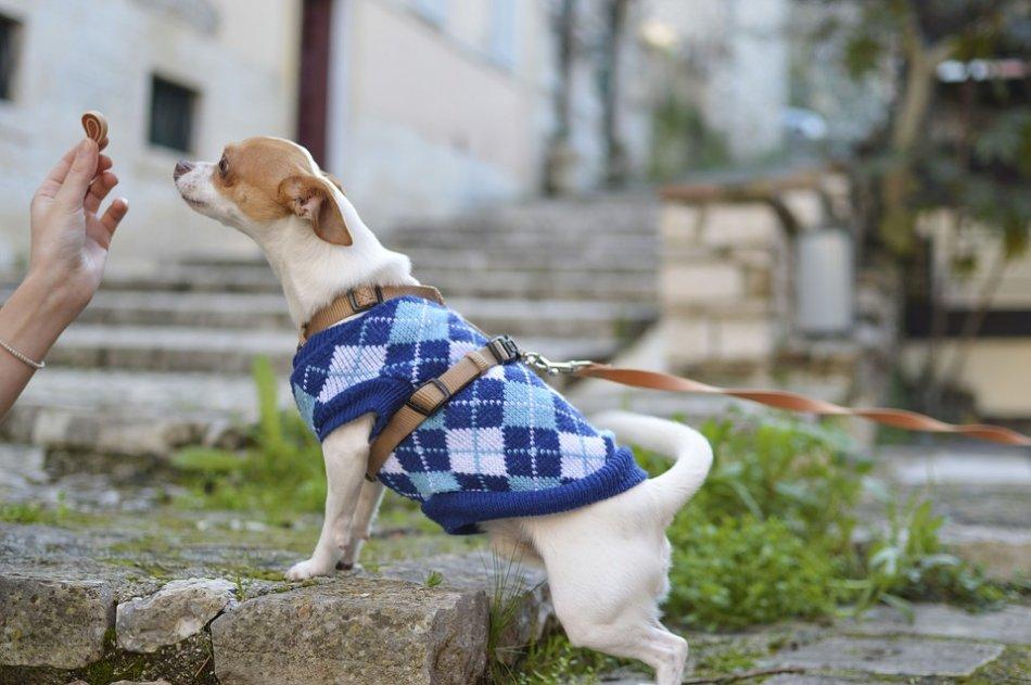 Маленькой собачке в свитере дают лакомство фото