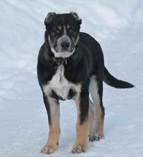 пес, большая собака, собака на снегу