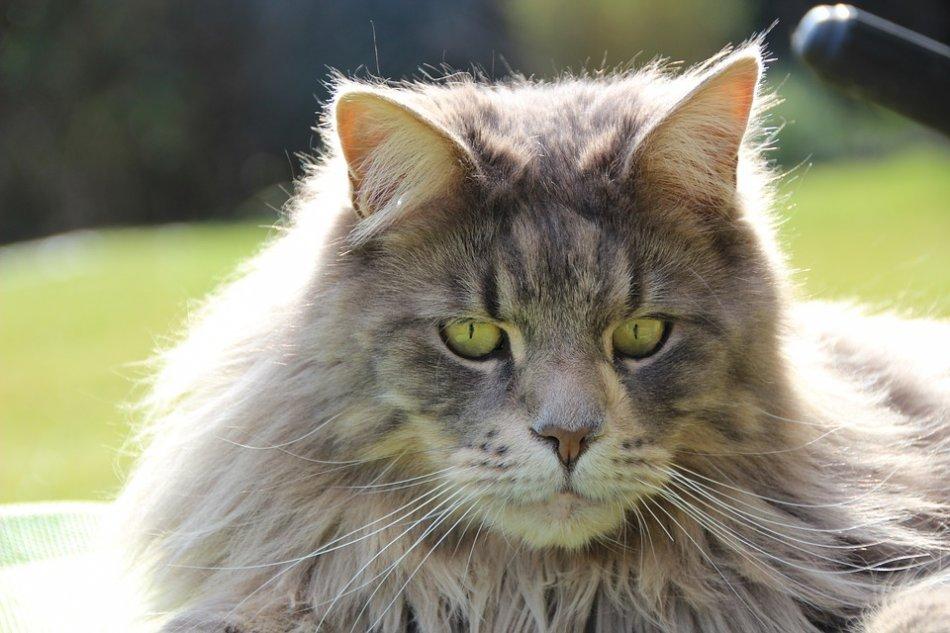 Кот породы мейн-кун фото
